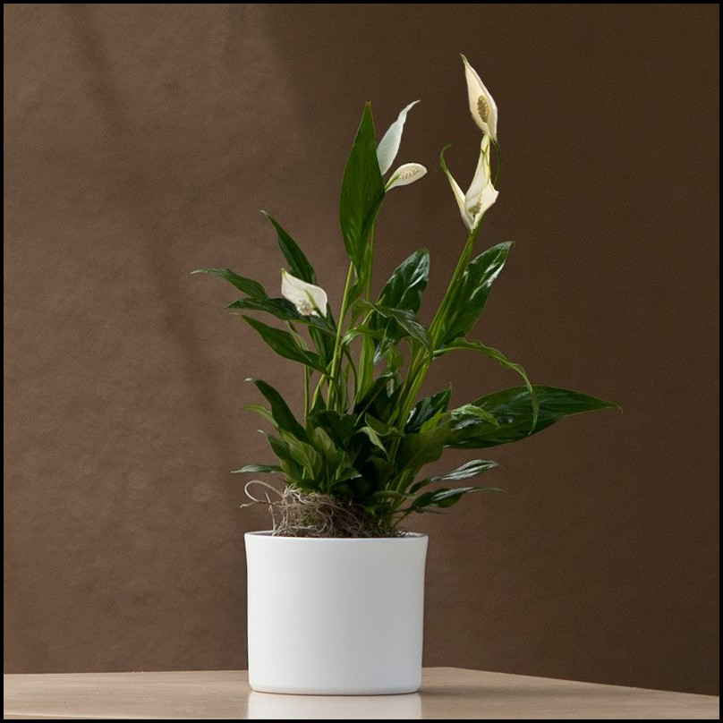 Peace Lily For Sale
