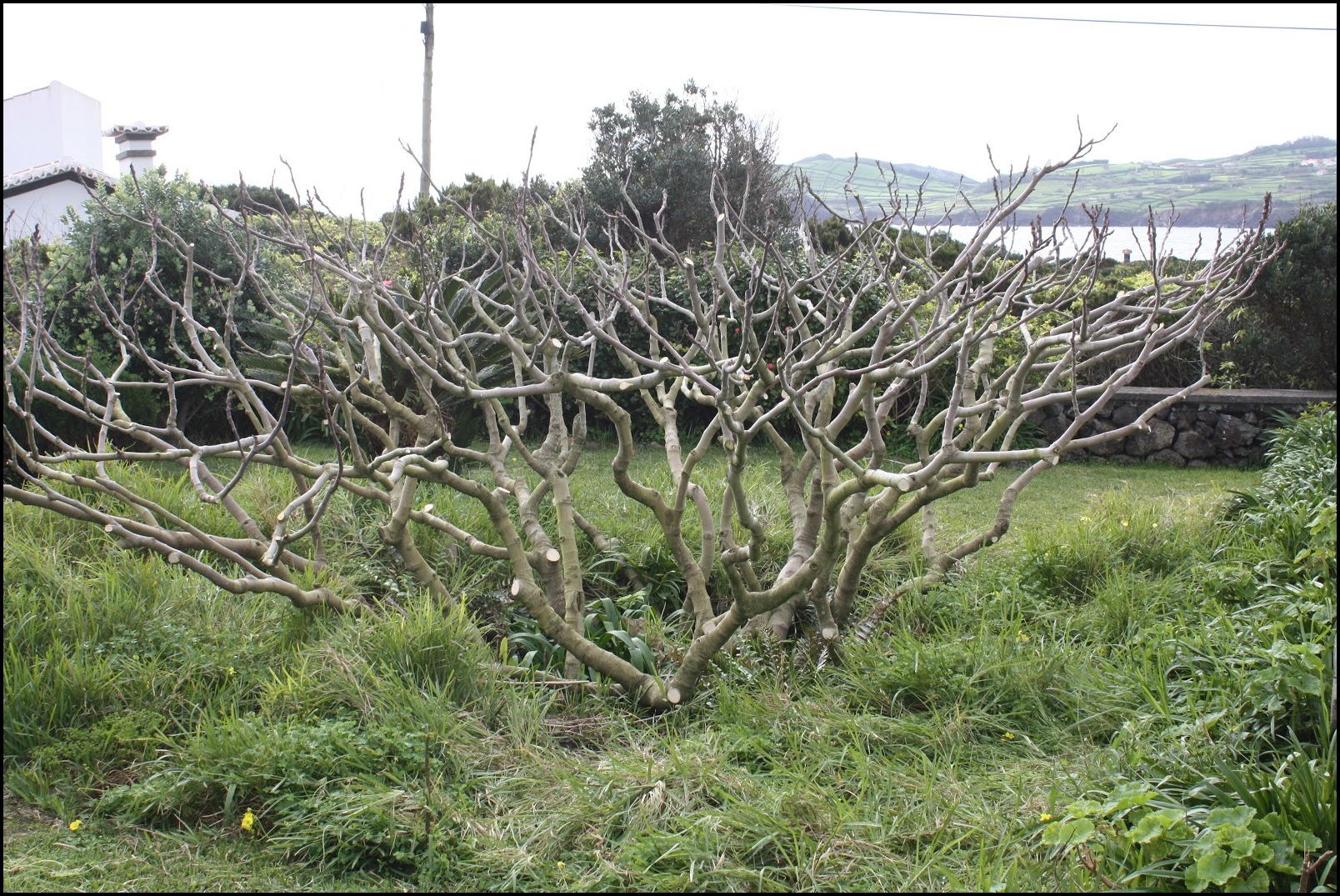 Pruning A Fig Tree