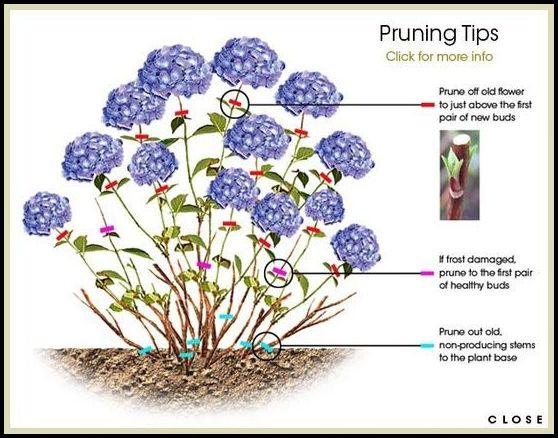 Pruning Hydrangeas In Fall
