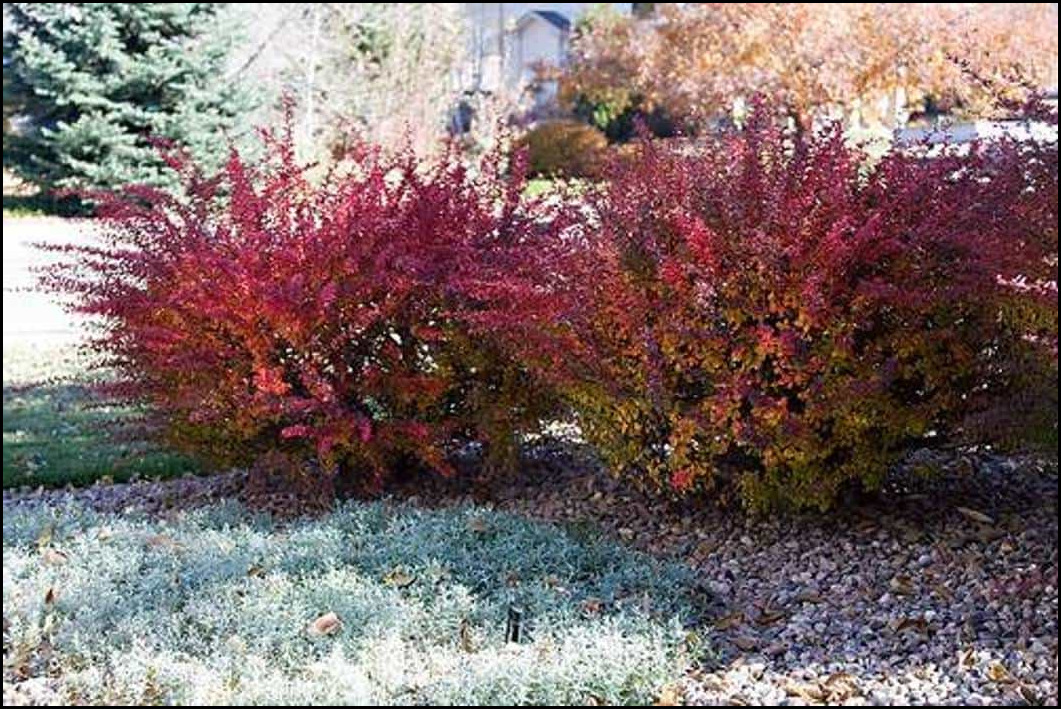 Red Bushes For Landscaping