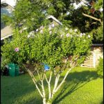 Rose Of Sharon Pruning