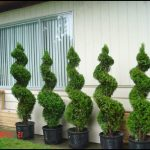 Spiral Trees For Landscaping
