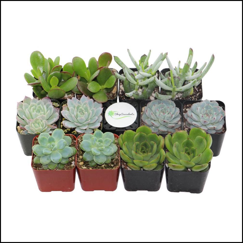 Succulent Plants Home Depot