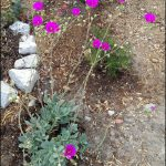 Succulents With Purple Flowers
