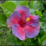 Tropical Hibiscus For Sale