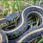 What Do Garden Snakes Eat