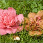 When To Fertilize Camellias