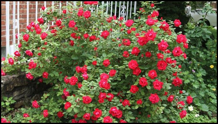 When To Fertilize Knockout Roses
