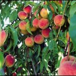 When To Fertilize Peach Trees