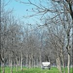 When To Fertilize Pecan Trees