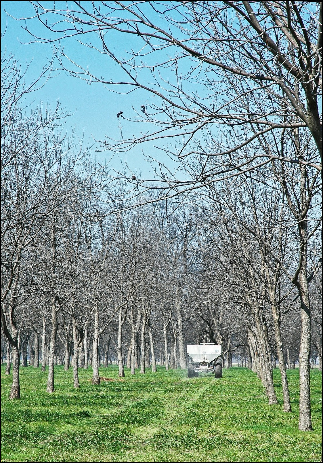 When To Fertilize Pecan Trees