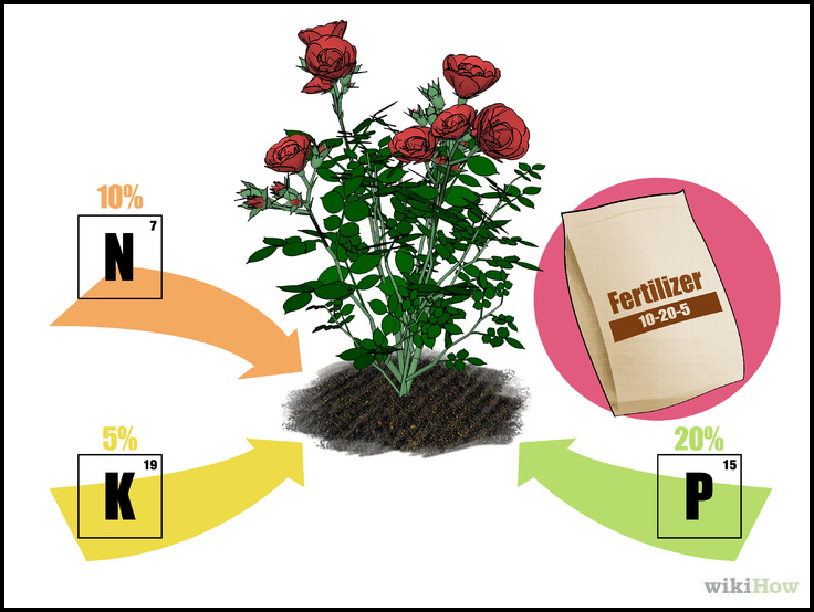 When To Fertilize Roses