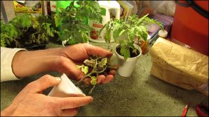 When To Fertilize Tomatoes