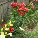 When To Plant Lilies