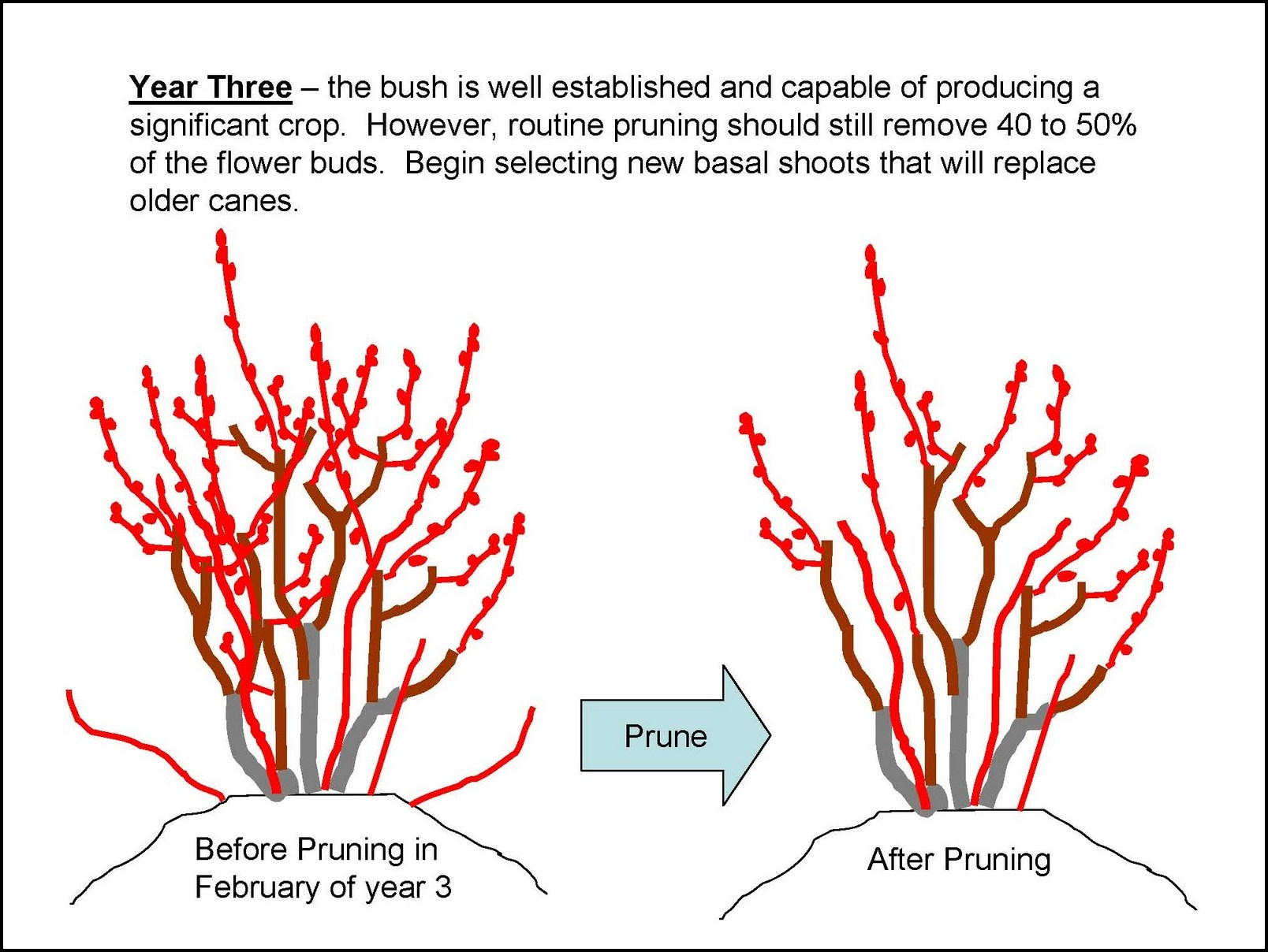 When To Prune Blueberries