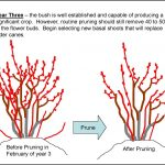 When To Prune Blueberry Bushes
