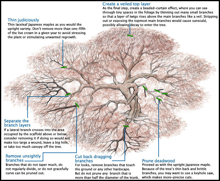 When To Prune Japanese Maple
