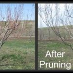 When To Prune Peach Trees