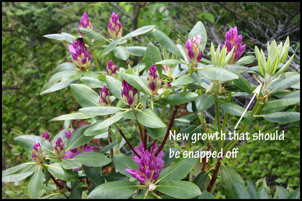 When To Prune Rhododendrons
