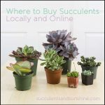 Where To Buy Mini Succulents