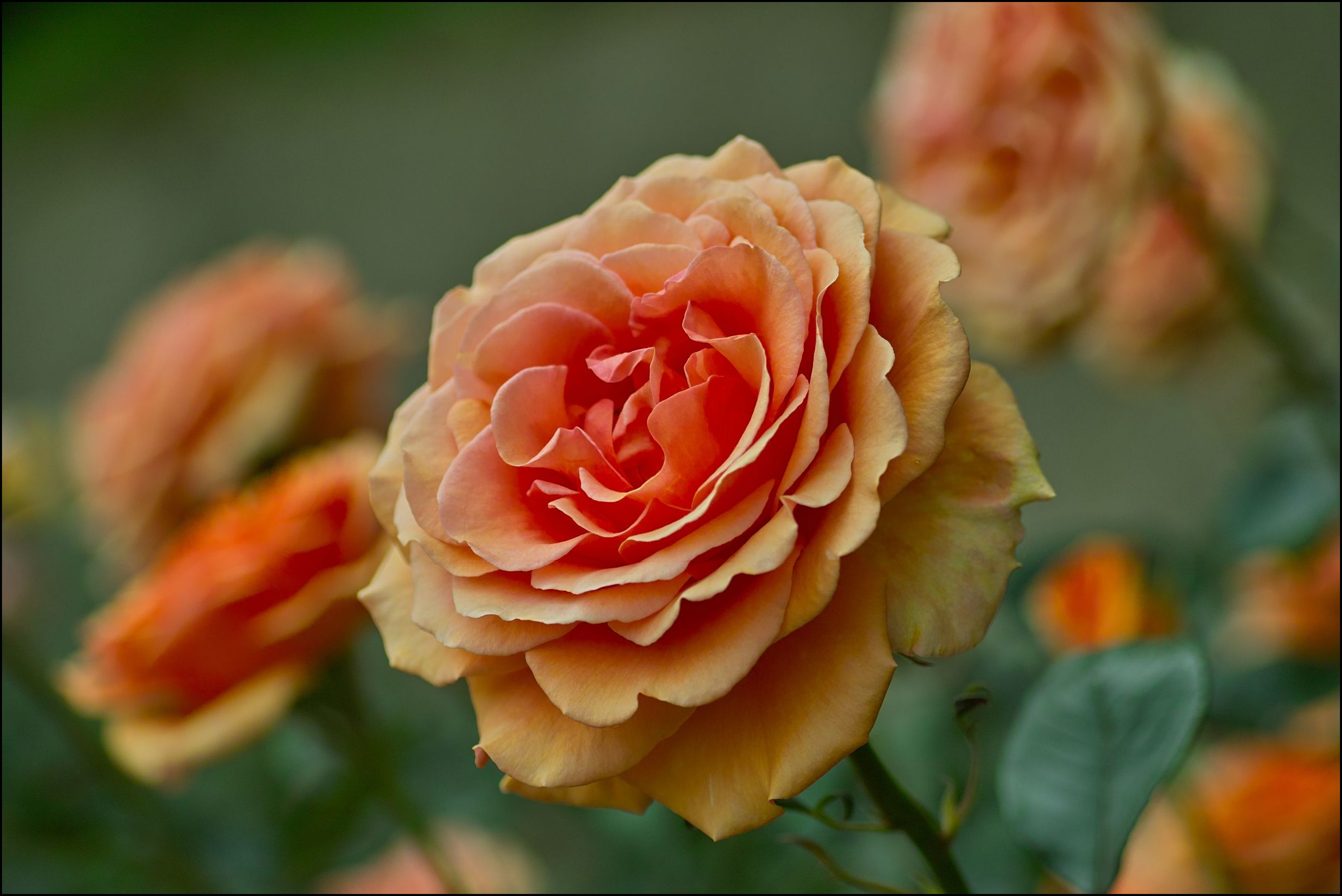 Do Roses Like Acidic Soil