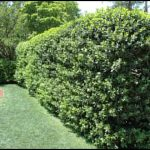 Fast Growing Evergreen Shrubs