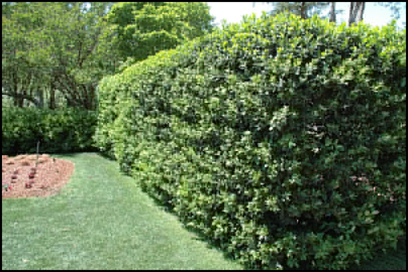 Fast Growing Evergreen Shrubs