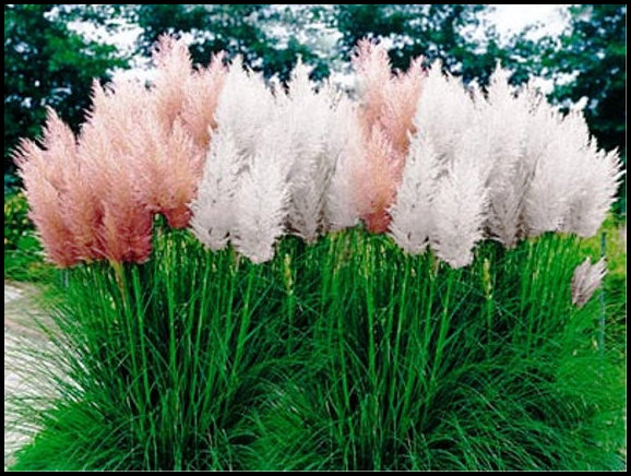 Fast Growing Ornamental Grass