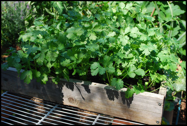 Growing Cilantro In A Pot