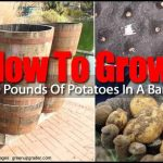 Growing Potatoes In A Barrel