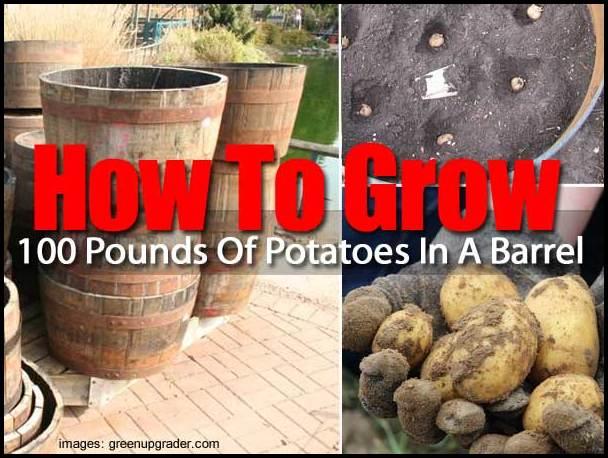 Growing Potatoes In A Barrel