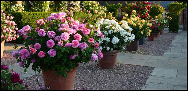 Growing Roses In Pots