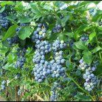 How Do Blueberries Grow