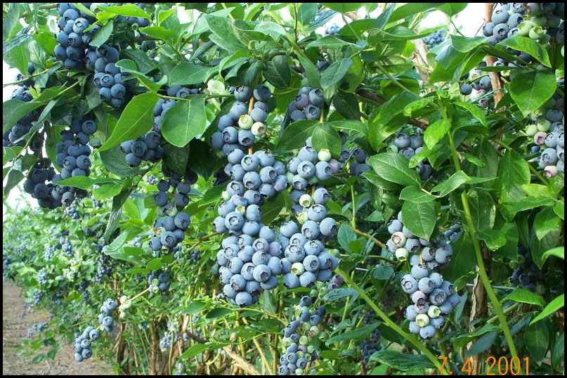 How Do Blueberries Grow