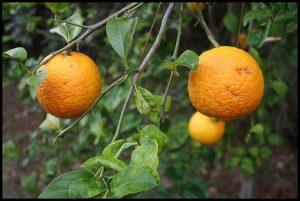 How Do Oranges Grow