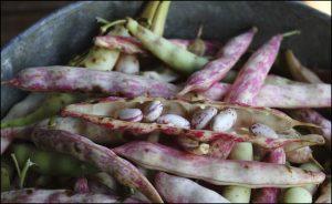 How Do Pinto Beans Grow