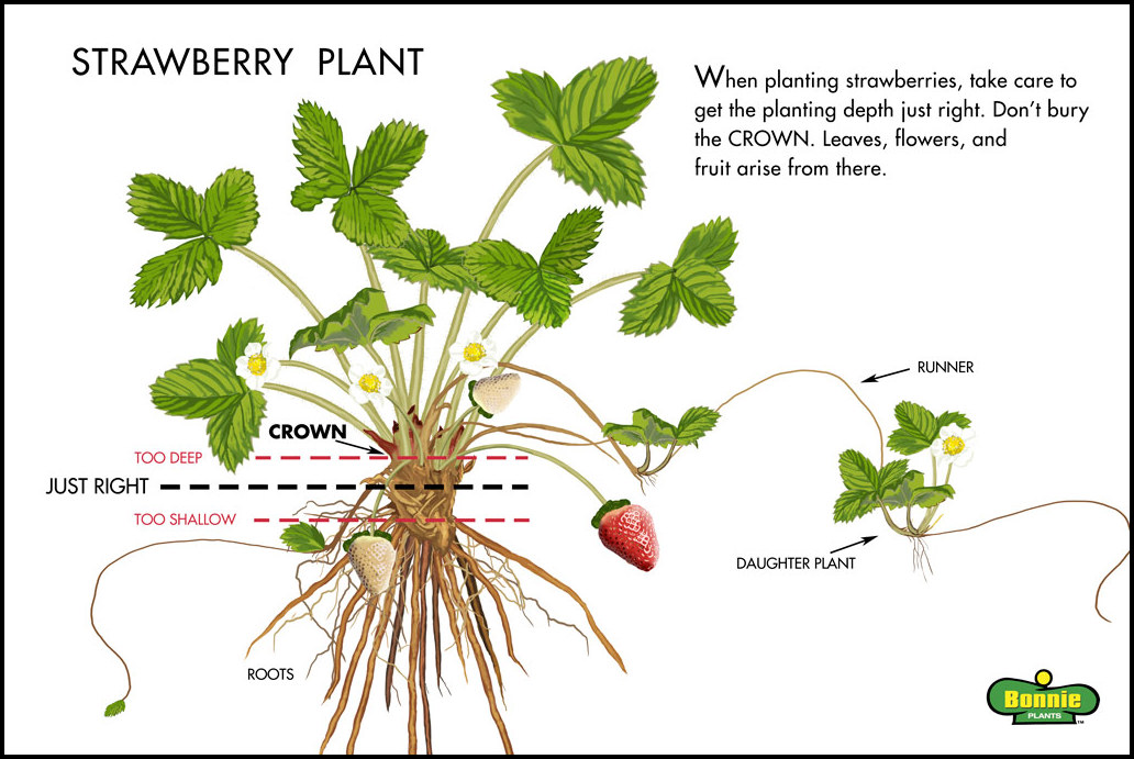 How Do Strawberries Grow