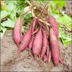 How Do Sweet Potatoes Grow
