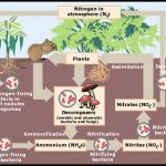 How Does Nitrogen Get Into The Soil