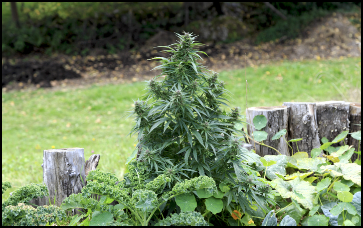 How To Grow A Weed Plant Outside