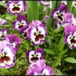 How To Grow Pansies