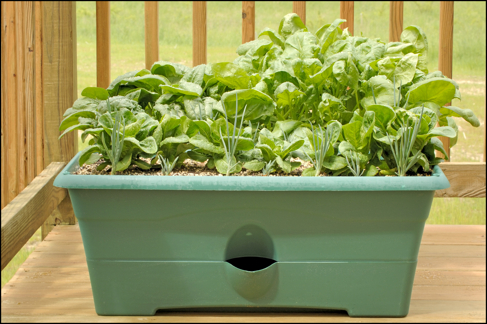 How To Grow Spinach Indoors