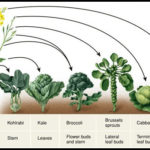What Vegetables Are Man Made