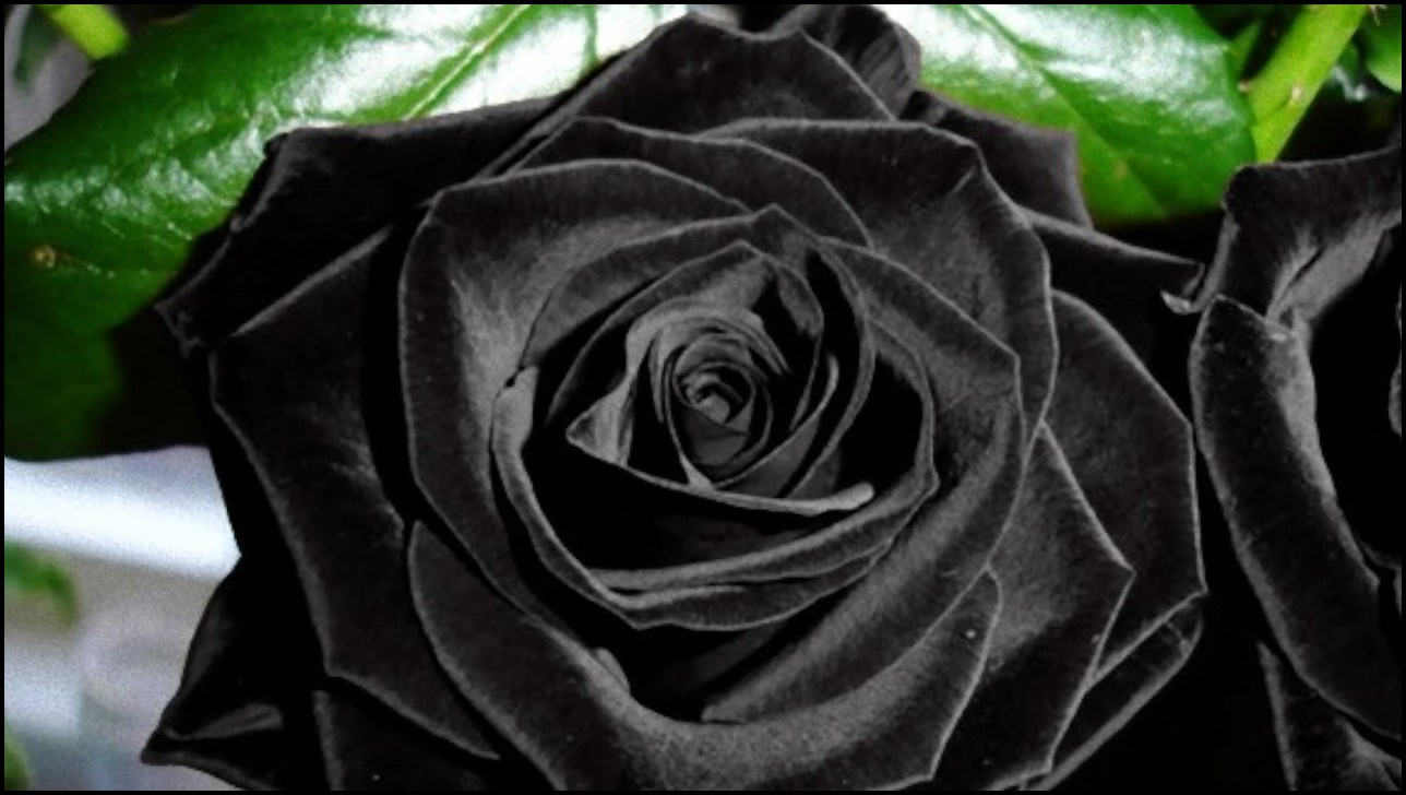 Where Do Black Roses Grow