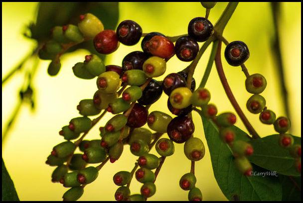 Where Do Olives Grow