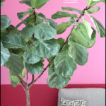 Fiddle Leaf Fig Pruning
