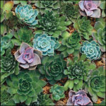 Hen And Chicks Succulent