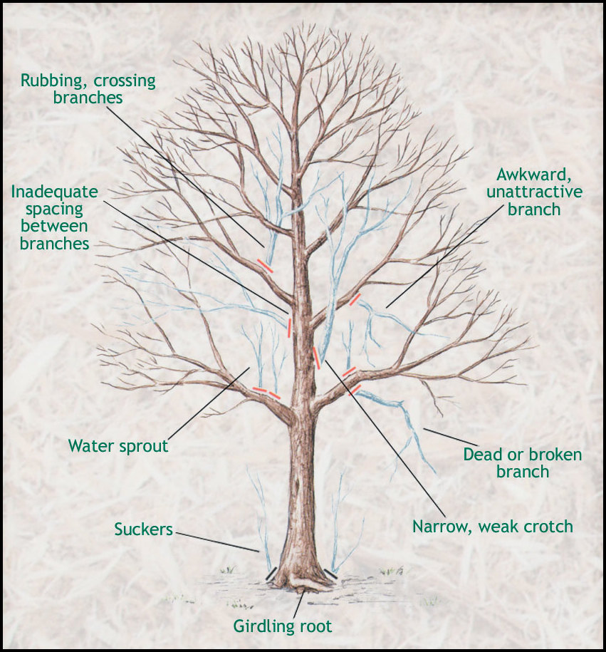 How To Prune A Maple Tree