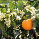 How To Prune An Orange Tree