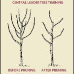 How To Prune Apple Tree